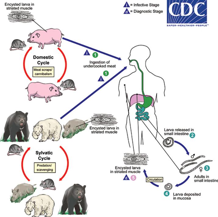 제대로 익혀 먹지 않으면 기생충이나 박테리아 감염 위험이 크다 (사진출처: 미국질병통제예방센터 CDC)