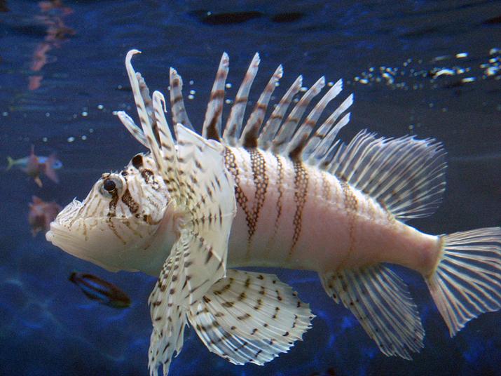 복어는 말할 것도 없고, 쏠배감펭도 지느러미 독을 주의깊게 다뤄야 하는 독물고기다 (사진출처: 위키백과)